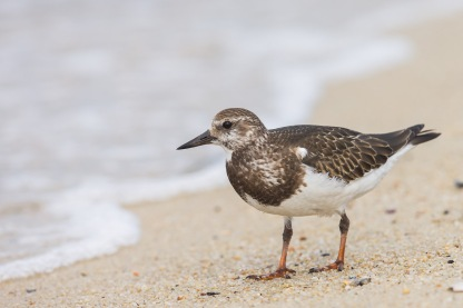 Juvenile Ruddy Turnstone at Seletar Dam. Photo Credit: Francis Yap