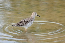 Ruff at Thailand. Photo Credit: Shirley Ng