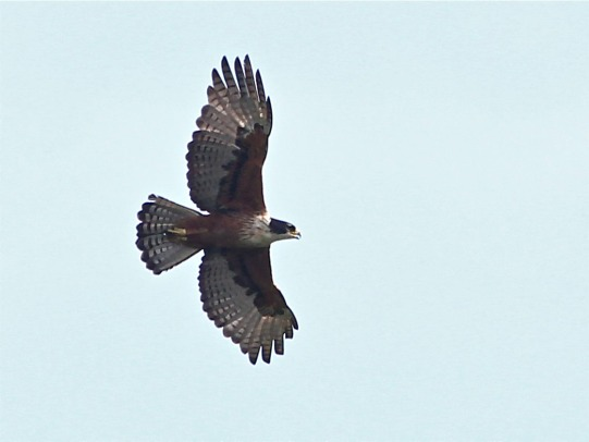 Adult Rufous-bellied Eagle at Jelutong Tower. Photo Credit: Leslie Fung
