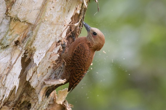 Rufous Woodpecker. Photo credit: Goh Cheng Teng