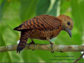Rufous Woodpecker. Photo Credit: Lawrence Cher
