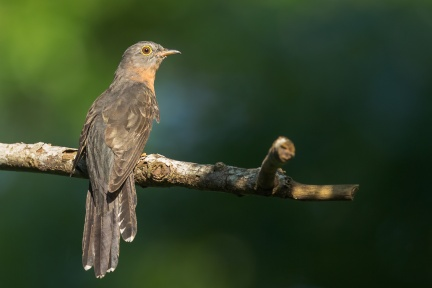 Adult Rusty-breasted Cuckoo at Neo Tiew Lane 2. Photo Credit: Francis Yap