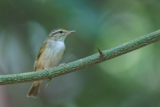 Sakhalin Leaf Warbler at Dairy Farm. Photo Credit: Francis Yap
