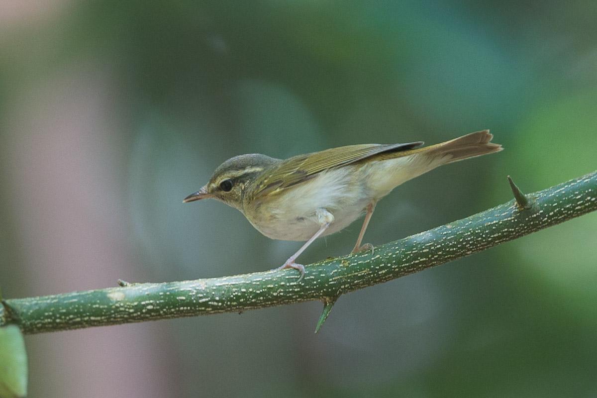 Sakhalin leaf warbler singapore birds project for Birds project