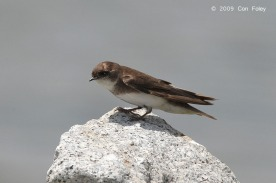 Sand Martin at Seletar Dam. Photo Credit: Con Foley