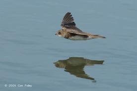 Sand Martin at Seletar Dam. Photo Credit: Con Foley