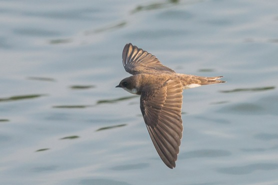 Sand Martin at Sg Serangoon. Photo Credit: Francis Yap
