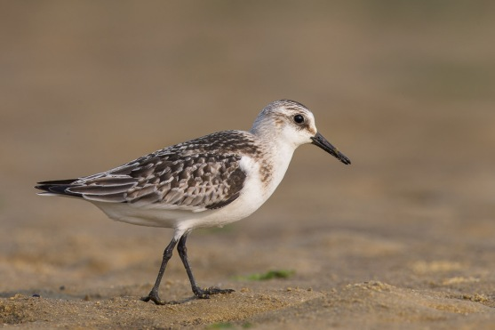 Sanderling at Seletar Dam. Photo Credit: Francis Yap