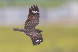 Savanna Nightjar at Jurong West. Photo Credit: Francis Yap