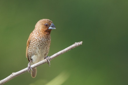 Scaly-breasted Munia at Lorong Halus. Photo Credit: Francis Yap