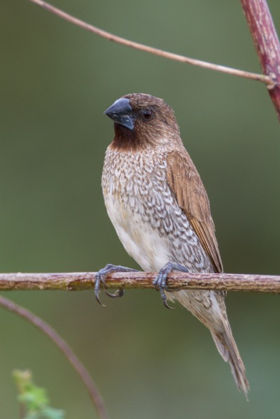 Scaly-breasted Munia (subspecies topela) at Punggol. Photo Credit: Francis Yap