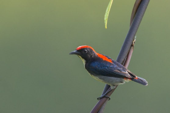 Scarlet-backed Flowerpecker (male) from Jelutong Tower. Photo credits: Francis Yap