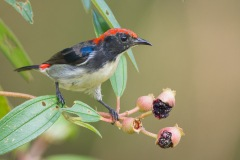 Scarlet-backed Flowerpecker (male) from Sungei Buloh. Photo credits: Francis Yap