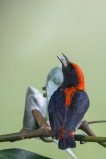 Scarlet-backed Flowerpecker (male) from Pasir Ris Park. Photo credits: Francis Yap