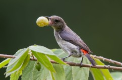 Scarlet-backed Flowerpecker (female). Photo credits: Lawrence Neo