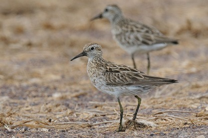 Sharp-tailed Sandpiper at Leanyer Sewage Works, Australia. Photo Credit: Con Foley