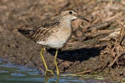 Sharp-tailed Sandpiperat Derby Wetlands, Derby, Western Australia. Photo Credit: Eric Tan