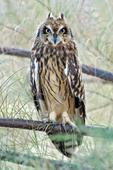 Short-eared Owl at Changi Cove. Photo Credit: Eric Tan