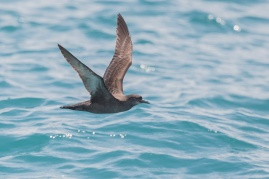 Short-tailed Shearwater at Straits of Singapore. Photo Credit: Francis Yap