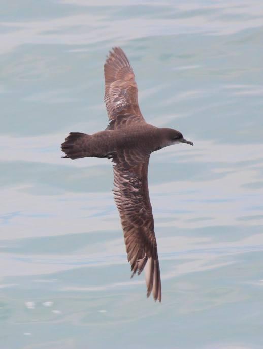 Short-tailed Shearwater at Tanjung Dawai. Photo Credit: Neoh Hor Kee