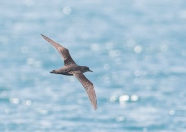Short-tailed Shearwater at Straits of Singapore. Photo Credit: See Toh Yew Wai
