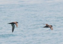 Short-tailed Shearwaters at Straits of Singapore. Photo Credit: See Toh Yew Wai