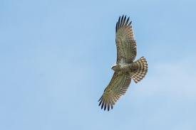 Short-toed Snake Eagle (pale morph) at Tanah Merah. Photo Credit: Francis Yap