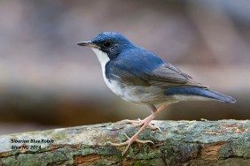 Subadult male Siberian Blue Robin at Lower Pierce Boardwalk. Photo credit: Alan Ng