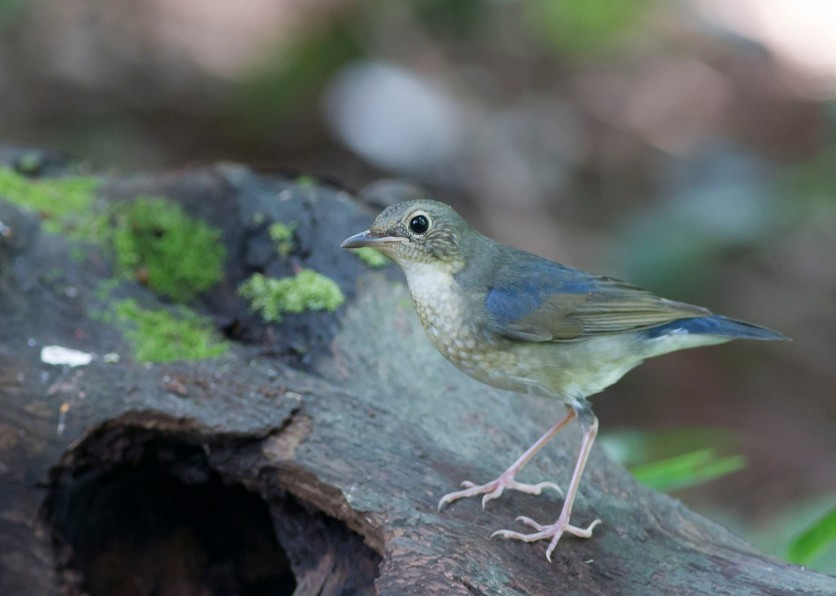 First-winter male Siberian Blue Robin at Bidadari. Photo credit: See Toh Yew Wai