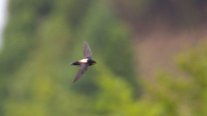 Silver-backed Needletail at Taiwan. Photo credit: Jason Chuang
