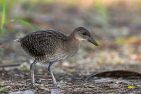 Juvenile Slaty-breasted Rail at Lorong Halus. Photo Credit: Francis Yap