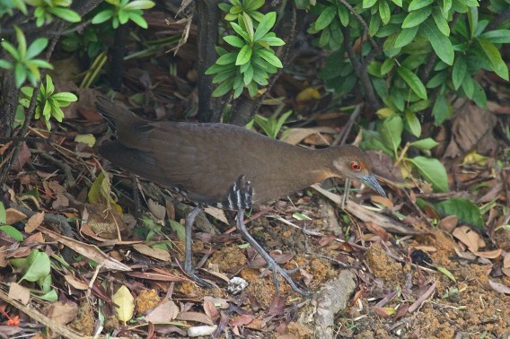 Juvenile Slaty-legged Crake at Jurong Island on 21 Nov 2015. Photo Credit: Lim Kim Chuah