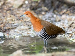 Adult Slaty-legged Crake at Kaeng Krachan National Park. Photo credits: Johnson Sia aka Mahi Mahi