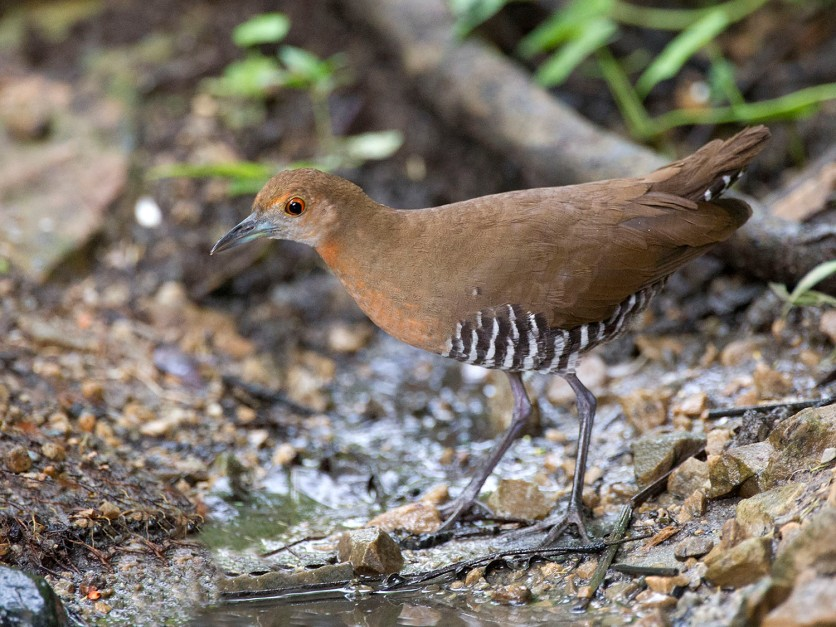 Juvenile Slaty-legged Crake at Kaeng Krachan National Park. Photo credits: Johnson Sia aka Mahi Mahi