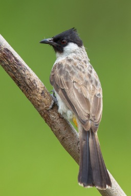 Sooty-headed Bulbul at Lorong Halus. Photo Credit: Francis Yap