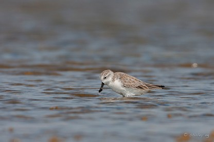 Spoon-billed Sandpiper at Thailand. Photo Credit: Shirley Ng