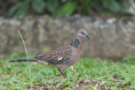 Spotted Dove at Lorong Halus. Photo Credit: Francis Yap