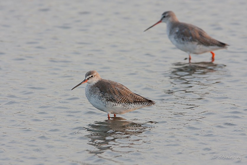 Spotted Redshank at Thailand. Photo Credit: Shirley Ng