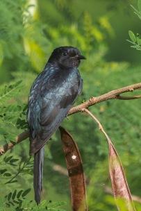 Square-tailed Drongo-Cuckoo at Jurong Eco Garden. Photo Credit: Francis Yap