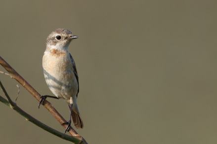 Female Stejneger's Stonechat in non-breeding plumage at Punggol Barat. Photo Credit: Francis Yap