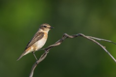 Female Stejneger's Stonechat at Pang Sua Connector. Photo Credit: Francis Yap