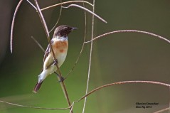 Male Stejneger's Stonechat at Punggol Barat. Photo Credit: Alan Ng