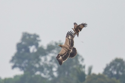 Juvenile Steppe Eagle being attacked by Brahminy Kite at Batang Tiga, Malaysia. Photo Credit: Francis Yap