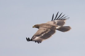 Juvenile Steppe Eagle at Batang Tiga, Malaysia. Photo Credit: Francis Yap