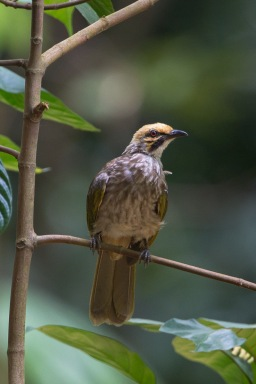 Straw-headed Bulbul at Hindhede Park. Photo credit: Francis Yap