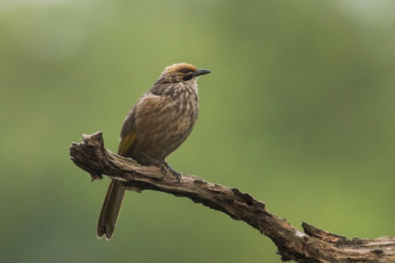 Straw-headed Bulbul at Saddle Club. Photo credit: Francis Yap