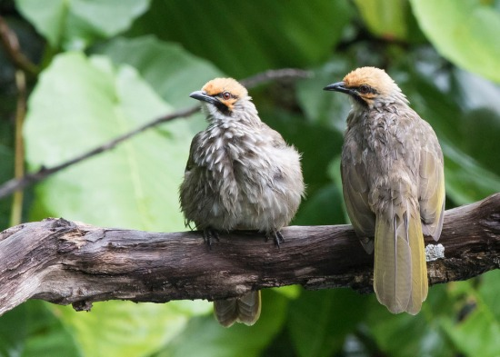 Straw-headed Bulbuls at Hindhede Quarry. Photo credit: See Toh Yew Wai