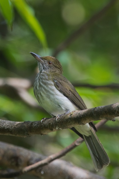 Streaked Bulbul at Dairy Farm Nature Park. Photo Credit: Francis Yap