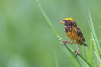 Male Streaked Weaver in breeding plumage at Lorong Halus. Photo Credit: Francis Yap