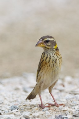 Female or non-breeding Streaked Weaver at Lorong Halus. Photo Credit: Francis Yap